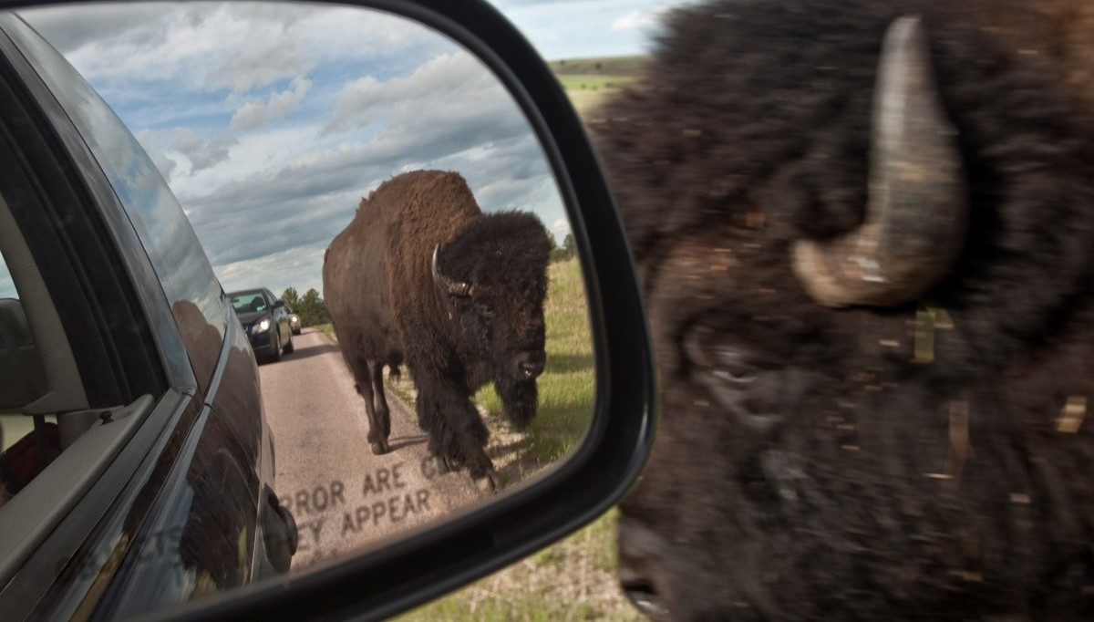 Buffalo Close to a car