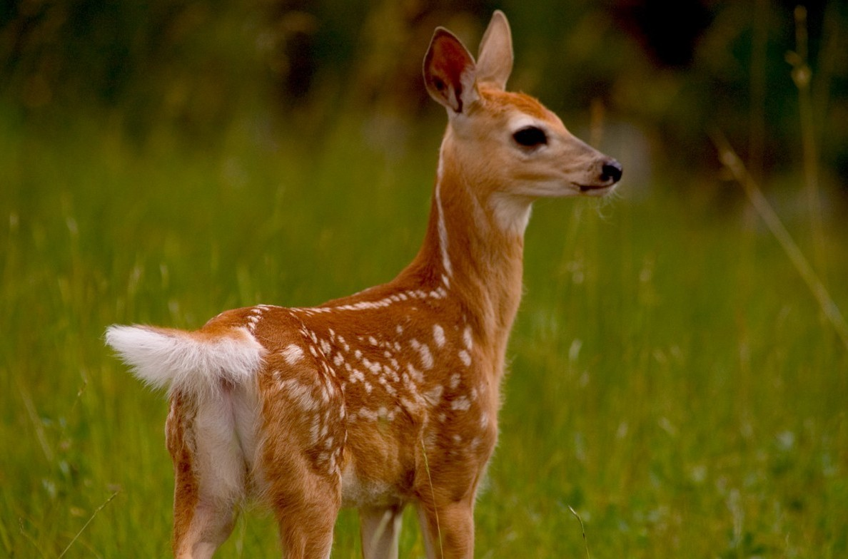 Baby fawn alert to nearby humans.