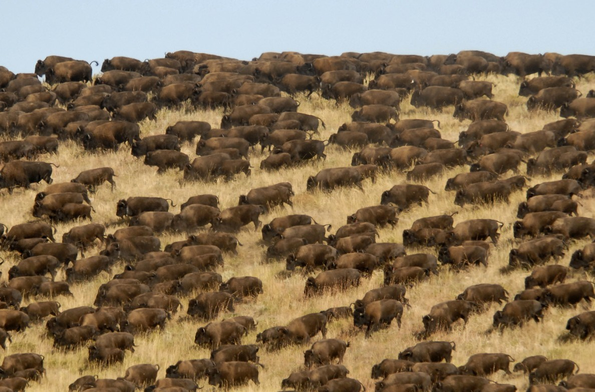 A herd of Buffalo.