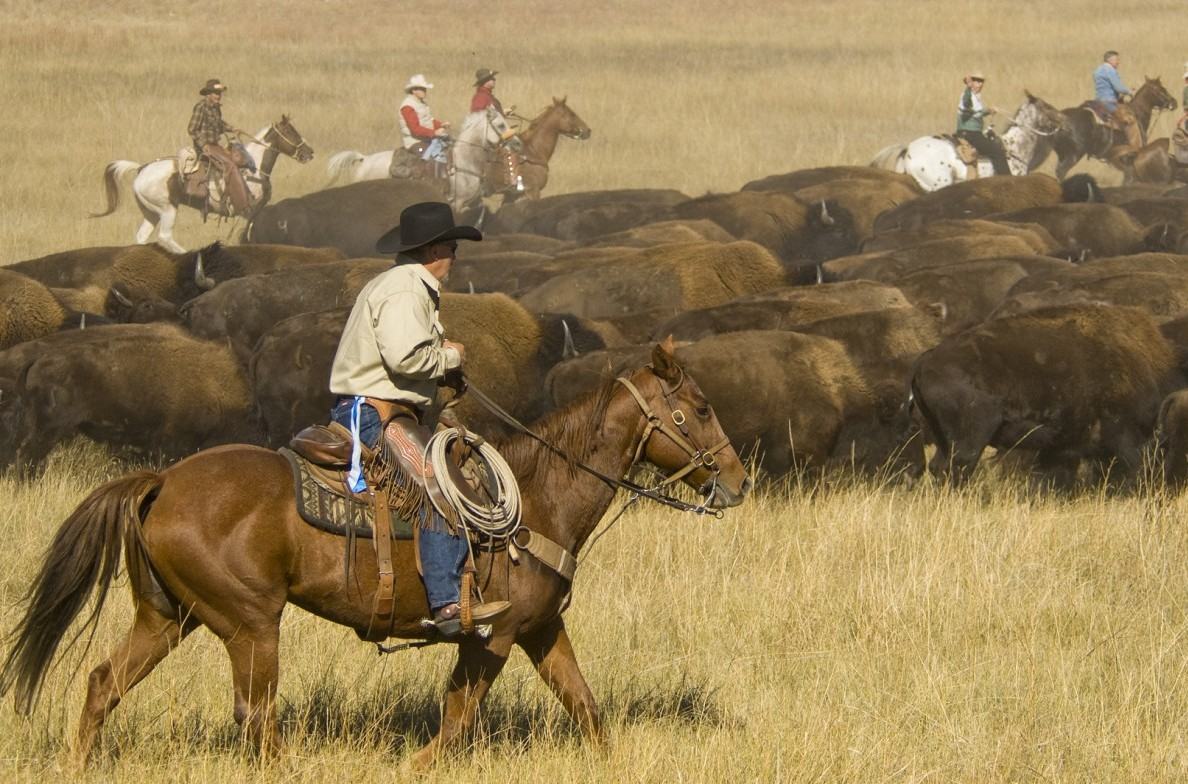 Cowboys rounding up the buffalo.