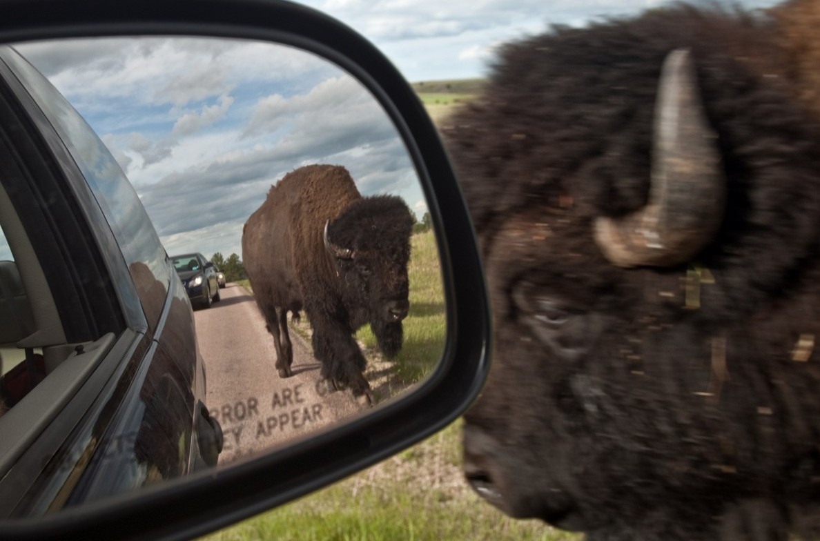Buffalo near a vehicle